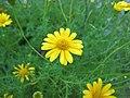 金毛菊 Thymophylla tenuiloba -香港花展 Hong Kong Flower Show- (33792208276).jpg