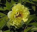 黃牡丹雜交-金晃 Paeonia x lemoinei Alice Harding -菏澤古今園 Heze, China- (12517021253).jpg