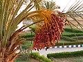 .Финиковая пальма.jpg