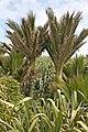 00 1263 Paparoa National Park - Nikau-Palmen.jpg