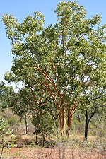 00 3637 Eucalyptus curtisii.jpg