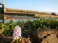 09645jfAngat River Dam Bay Eichhornia crassipes San Rafael Bustos Angat Bulacan villagesfvf 02.JPG