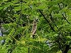 1-Acacia ferruginea 04.JPG