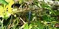 1. Common green darner (Anax junius), male, Liberty County.jpg