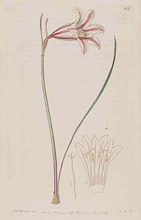 168 Cyrtanthus clavatus