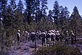 1969. Insect and disease training. Armillaria root disease. Deschutes National Forest, Oregon. (36069307575).jpg