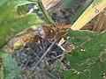 1 - Pentatoma rufipes 5 - Putney Heath Common 2011.08.02.jpg