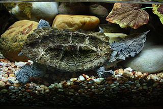 Mata mata species of freshwater turtle