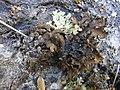 2012-11-25 Pseudocyphellaria coriifolia (Müll. Arg.) Malme 286405.jpg