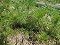 20120511Tripleurospermum inodorum3.jpg