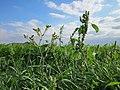 20120903Silene latifolia - Amaranthus retroflexus.jpg
