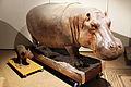 2013-03 Naturkundemuseum Taxidermie Flusspferd Hippopotamus amphibius anagoria.JPG