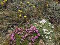 2013-07-14 12 22 45 Alpine flowers along the Wheeler Peak Summit Trail in Great Basin National Park.jpg