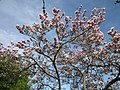 20130417Magnolia × soulangeana1.jpg