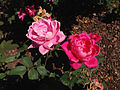 2014-08-29 14 37 59 Roses along U.S. Route 206 in Springfield Township, New Jersey.JPG