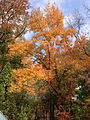 2014-10-29 12 53 31 Red Maple during autumn leaf coloration in Ewing, New Jersey.JPG