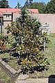 2014-11-22 10h06 Protea cynaroides anagoria.JPG
