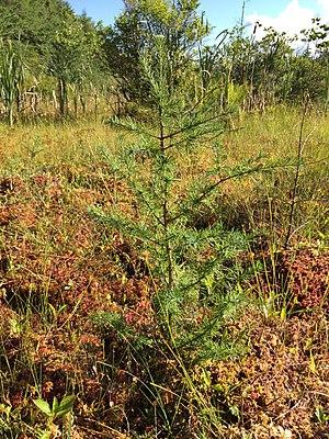 Larix laricina - Tamarack sapling in a sphagnum bog