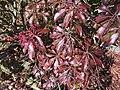 2015-12-03 12 05 39 Japanese Pieris leaves in early winter along Terrace Boulevard in Ewing, New Jersey.jpg