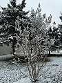 2016-03-04 07 29 24 A Crape Myrtle coated in a light wet snowfall along Tranquility Court in the Franklin Farm section of Oak Hill, Fairfax County, Virginia.jpg
