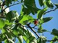 20160718Morus nigra2.jpg