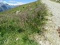 2017-07-15 (059) Unidentified Poaceae (grass) in Matrei in Osttirol.jpg