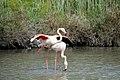 20170425 134 Camargue Flamingo (33621741674).jpg
