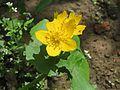20170509Caltha palustris1.jpg