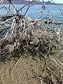 2017 enero 12 los restos de redes de pescar matan los mangles de Isla Tiburón.jpg