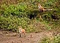 2018-11-19 Red Fox 18-09-07.jpg