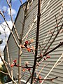 2019-03-18 12 26 33 Male Red Maple flowers along Tranquility Court in the Franklin Farm section of Oak Hill, Fairfax County, Virginia.jpg