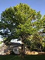 2019-05-06 18 57 09 Pin Oak with young leaves in late spring along Thorngate Drive in the Franklin Farm section of Oak Hill, Fairfax County, Virginia.jpg