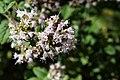 2019-07-24 Origanum-vulgare-flower-head.jpg