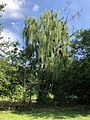 2019-08-18 15 58 06 A Weeping Willow along a walking trail in the Franklin Glen section of Chantilly, Fairfax County, Virginia.jpg