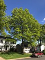 2020-05-12 17 12 28 A Pin Oak in spring along Thorngate Drive in the Franklin Farm section of Oak Hill, Fairfax County, Virginia.jpg