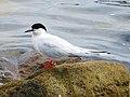 2020-07-18 Sterna dougallii, St Marys Island, Northumberland 02.jpg