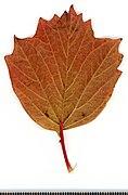 2020 year. Herbarium. Trees. img-064.jpg