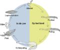 524px-Eel-life-circle2p.PNG