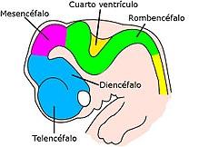 Sistema Nervioso Central Wikipedia La Enciclopedia Libre