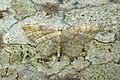 70.006 BF1705 Dwarf Cream Wave, Idaea fuscovenosa (3120215939).jpg