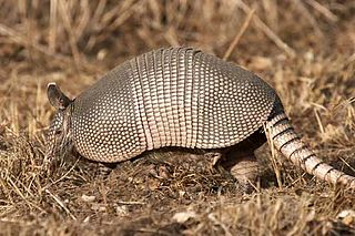 <i>Dasypus</i> A genus of mammals belonging to the armadillo order of xenarthrans