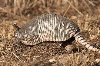 Dasypus - Dasypus novemcinctus