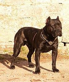 Dogue Wiktionnaire