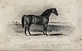 A Cleveland stallion standing on a meadow. Etching by J. Sco Wellcome V0021748.jpg