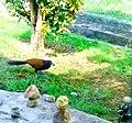 A Fowl like bird Feeding in Garden.jpg