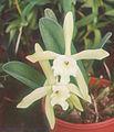 A and B Larsen orchids - Brassavola glauca 900-24z.jpg