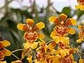 A and B Larsen orchids - Oncidium divaricatum DSCN1549.JPG