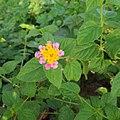 A beautiful flower on Himchari Hill.jpg