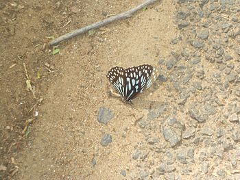 A butterfly in Guindy National Park.jpg
