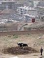 A city cow 城里牛 (4608823116).jpg